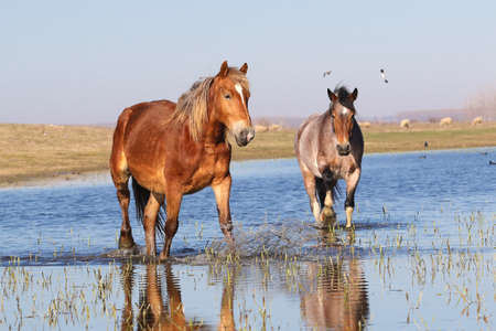 Two wild horses troat through the water on the watering place