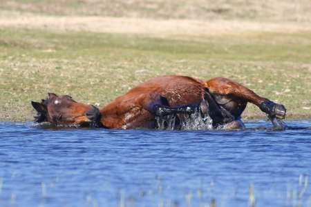 Wild brown pony take a bath in the watering  place