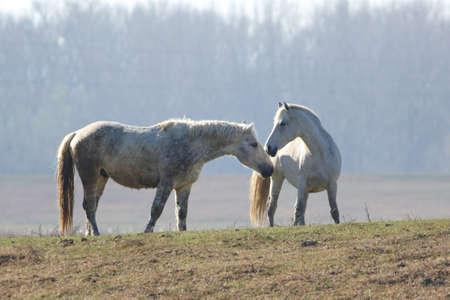 Love between white wild mare and stallion