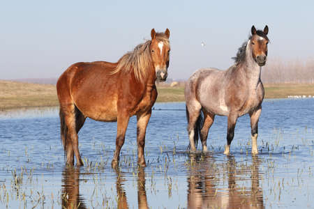 Two wild pony on the watering place