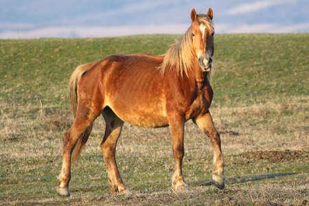 Wild sorrel horse watch in the meadow