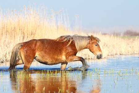 Sorrel horse is walking through the water in the watering place Stock Photo