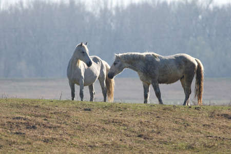 Love between two white wild horses in the pasture