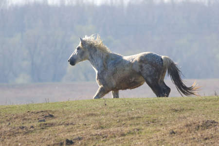 White wild horse is galloping in pasture