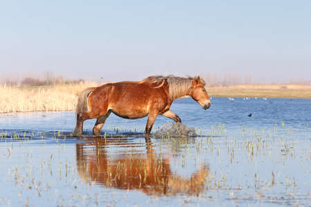Sorrel horse is walking through the water in the marsh