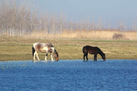 Two wild horses are drinking on meadow