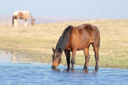 Brown wild mare is drinking on the watering place