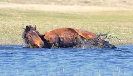 Wild brown stallion take a bath in the mud