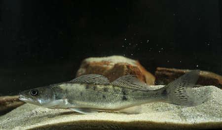 Perch freshwater gamefish Stizostedion lucioperca in the pond