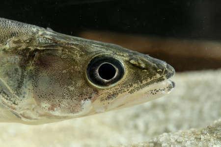 Portrait of Perch freshwater gamefish Stizostedion lucioperca in the aquarium