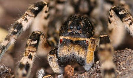 Closeup of dangerous European Lycosa tarantula spider Stock Photo