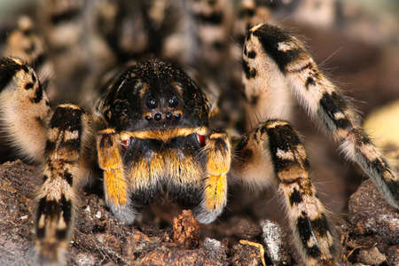 Closeup of  dangerous creepy wolf spider tarantula species Lycosa singoriensis