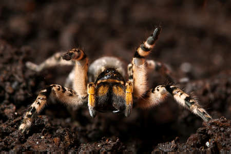 Dangerous creepy wolf spider tarantula species Lycosa singoriensis ready to attack Stock fotó
