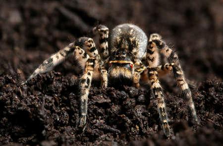Dangerous creepy wolf spider Lycosa singoriensis on the ground