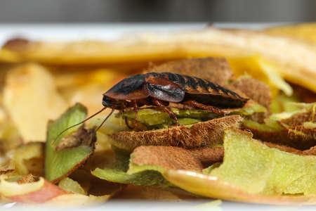 Big cockroach on fruit food waste in the kitchen Banco de Imagens