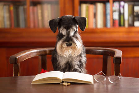 Cute Miniature schnauzer dog reads a book in the classroom Stock fotó
