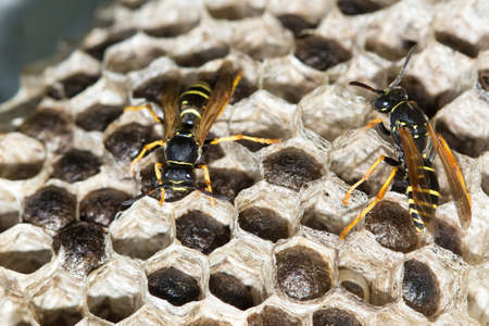 Two Paper wasps , Polistes dominula and big nest