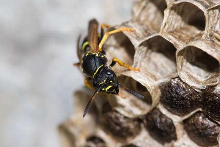 abbandono di Paper wasp, Polistes dominula e big nest