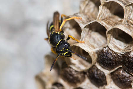 loseup of Paper wasp, Polistes dominula and big nest