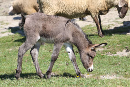 Young gray donkey and a sheep graze in meadow Banco de Imagens