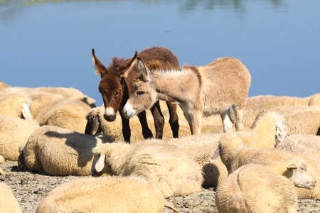 Two baby donkeys are cuddling and a flock of sheep on the watering place