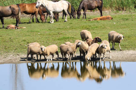 Livestock, horses and sheep on the watering place