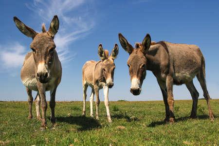 Drie grappige nieuwsgierige ezels staren in de wei