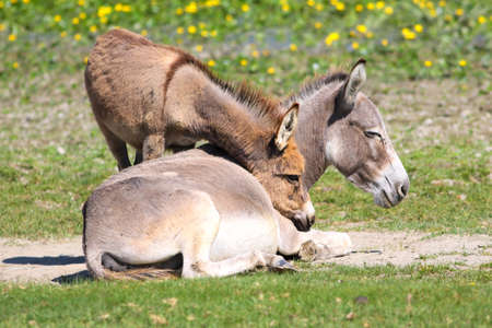 Baby donkey  cuddle with mother on the floral meadow