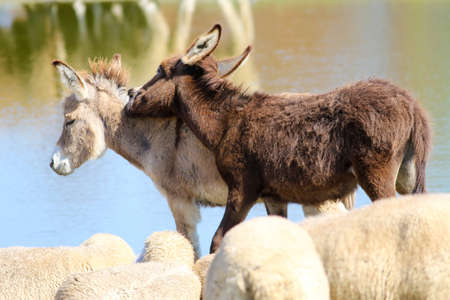 Two baby donkeys play between a flock of sheep on the watering place Banco de Imagens