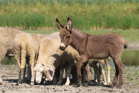 Baby donkey and a flock of sheep in the meadow