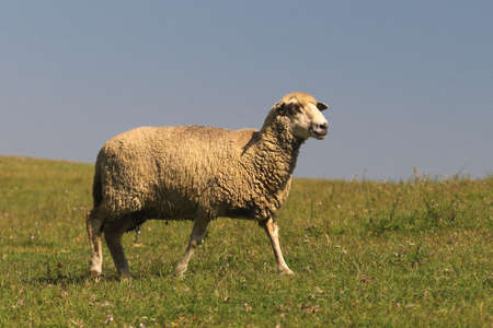 Cute Sheep is walking on the pasture Banco de Imagens