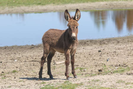 Cute baby donkey on the watering place