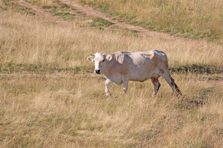 Brown Cow in the summer mountain meadow