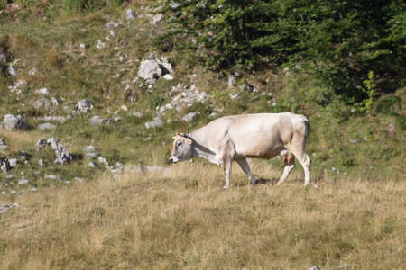 Brown Cow in the summer mountain pasture Banco de Imagens