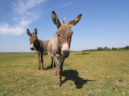 Two funny curious donkeys is staring in the pasture Stock fotó