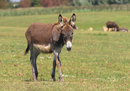 Brown baby donkey on the floral meadow