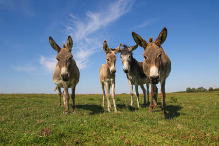 Four funny curious donkeys is staring in the pasture