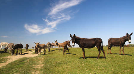 Herd of wild donkeys graze on meadow Banco de Imagens