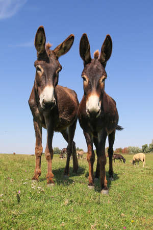 Two brown funny cartoon like donkeys on the meadow