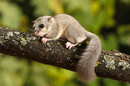 Cute  dormouse, Glis glis on the branch
