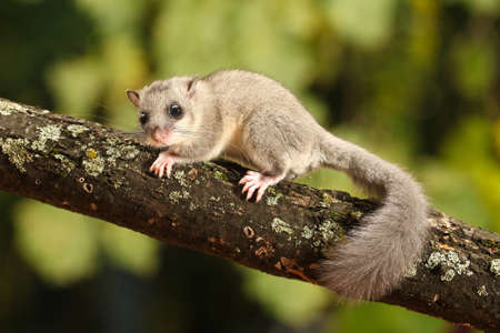 Cute Edible dormouse, Glis glis on the branch