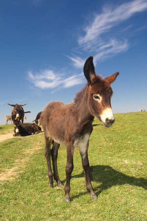 Baby donkey on the pasture over blue sky