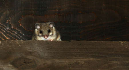 Dormouse Glis glis pest in the house Banco de Imagens