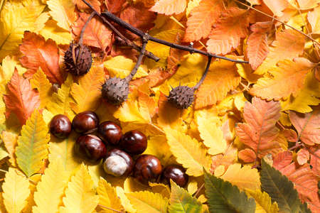 Bunch of autumn leafs and conker seed