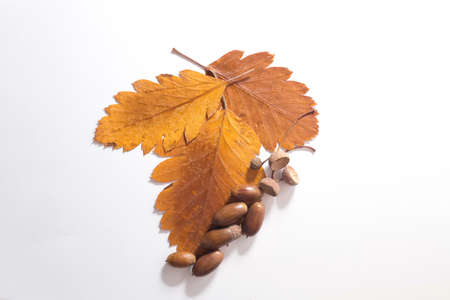 Top view of group acorn and leaf on white