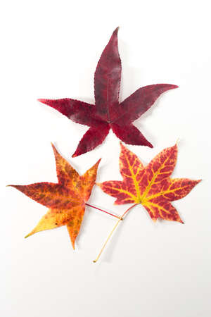 Three red and yellow maple leaves on white