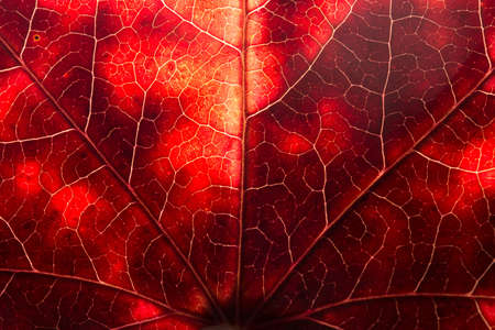 Vibrant and Colorful red maple leaf structure