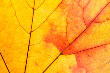 Colorful maple leaf structure red and  yellow