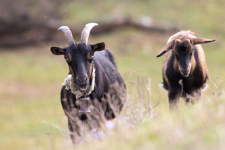 Two brown goats one with bell on pasture
