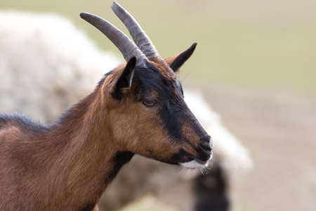 Portrait of young brown cute horned goat
